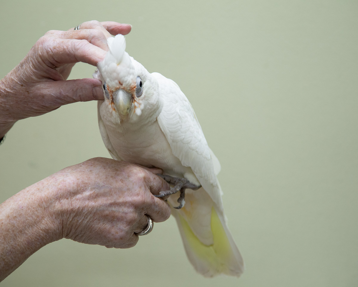 2019 Tame Bare Eyed Cockatoo