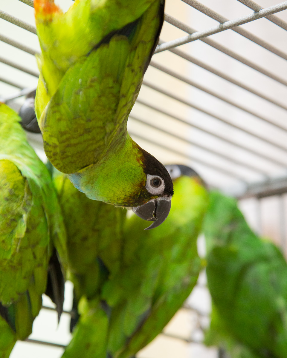 2019 Tame Nanday Conure